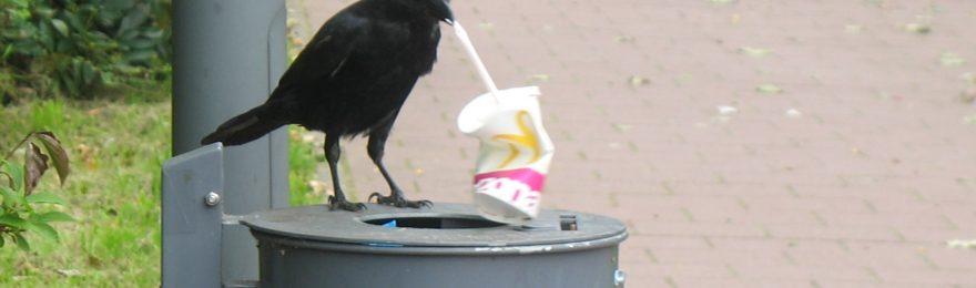 Rabe auf Abfallkorb mit Strohhalm